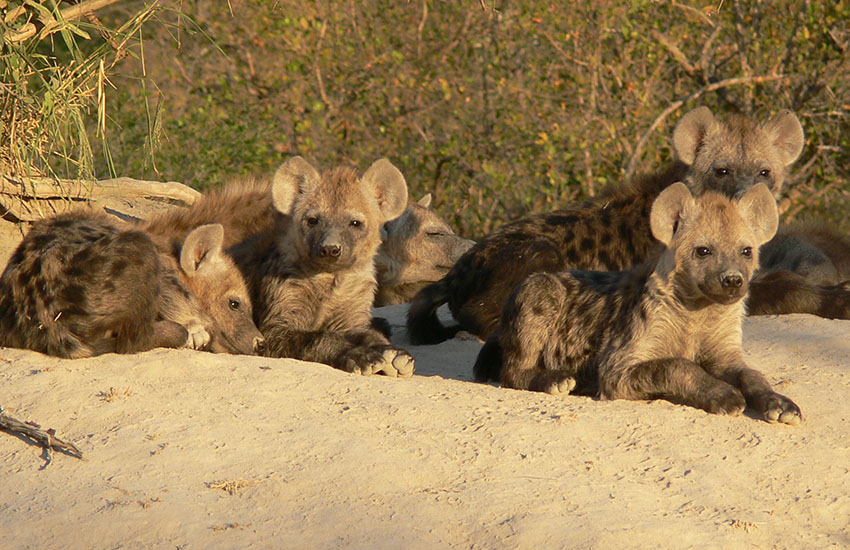 Clan of Hyena Cubs