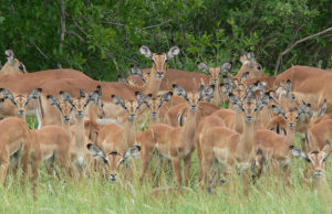 Impala Herd in Klaserie