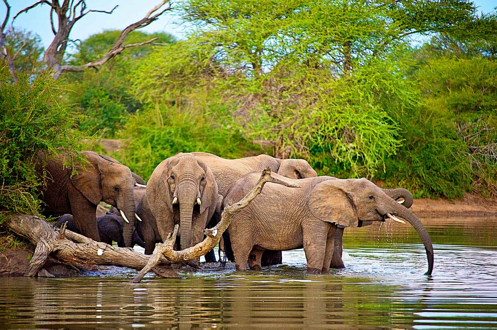 Elephant Herd Swimming - Image : Shannon Benson
