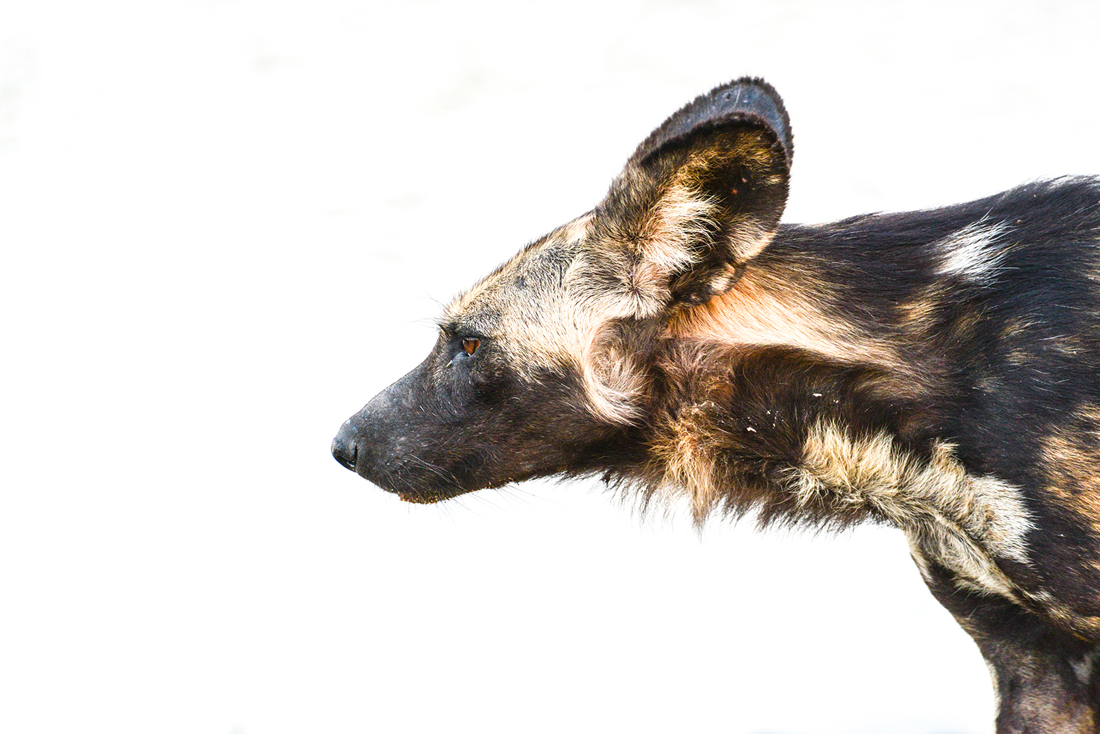 African Wild Dog - Image : Kevin MacLaughlin