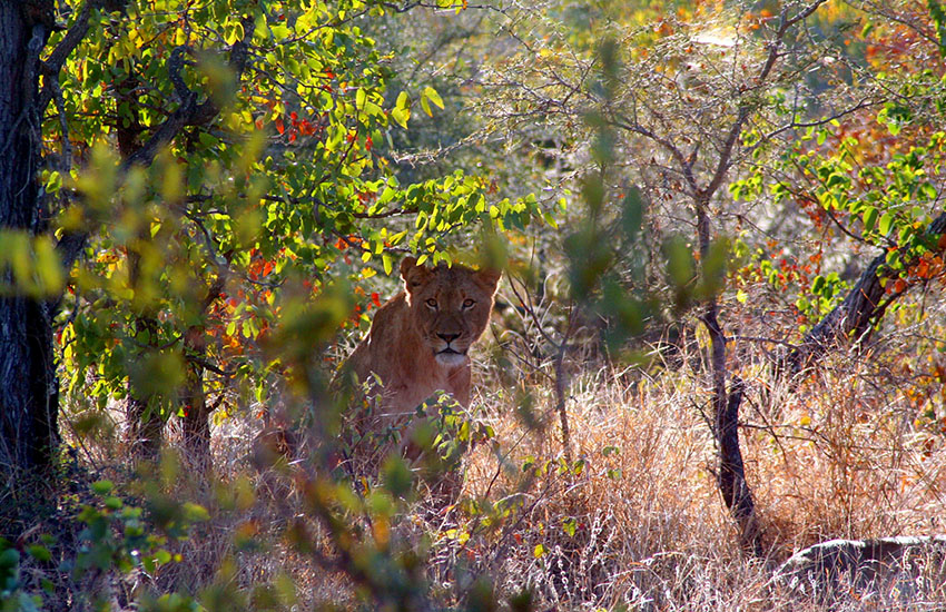Lioness in Thickets