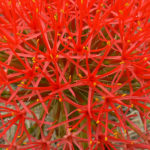 Blood Lily Plant