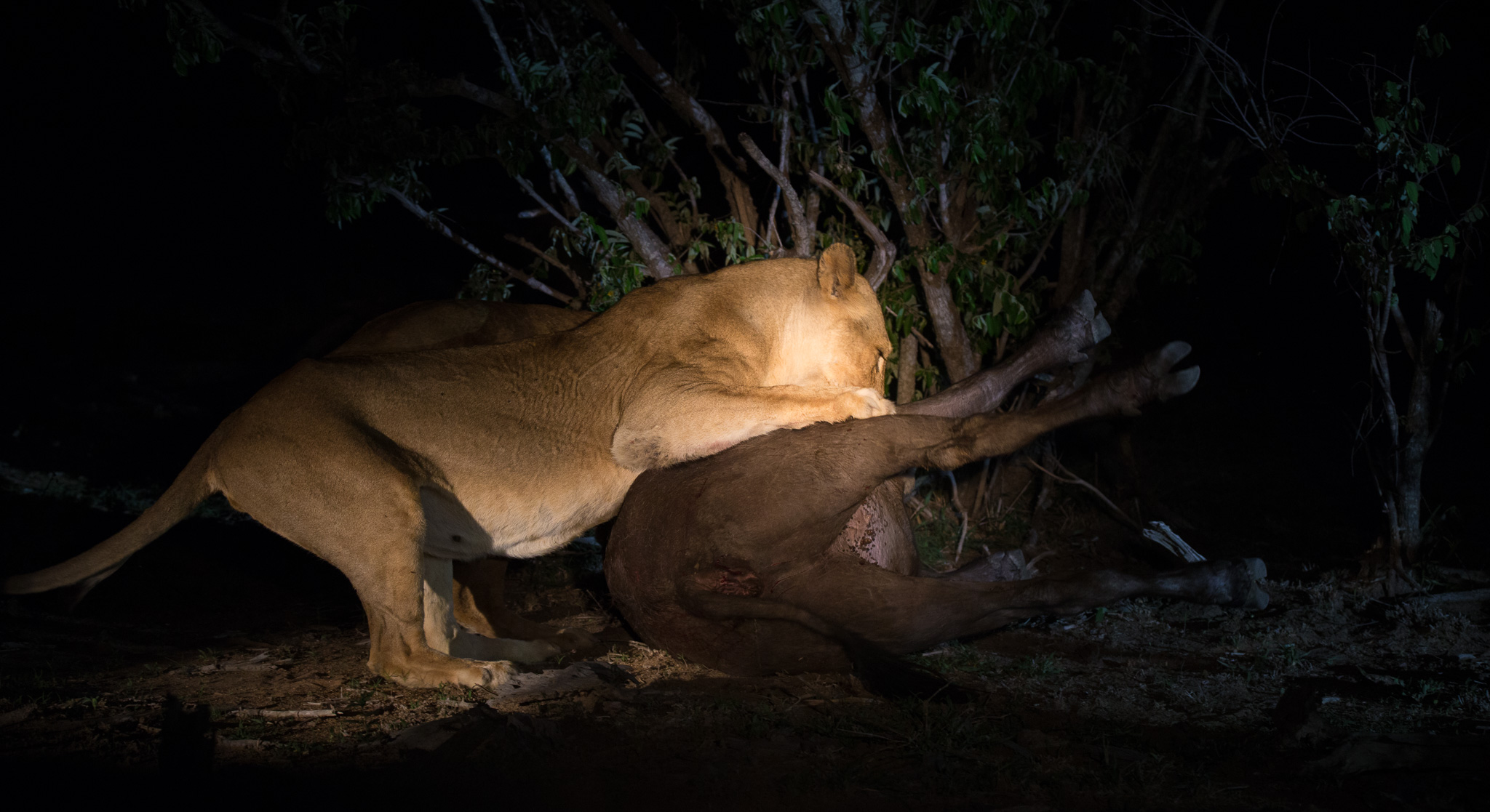Lioness on Buffalo Kill - Image : Greg Moran