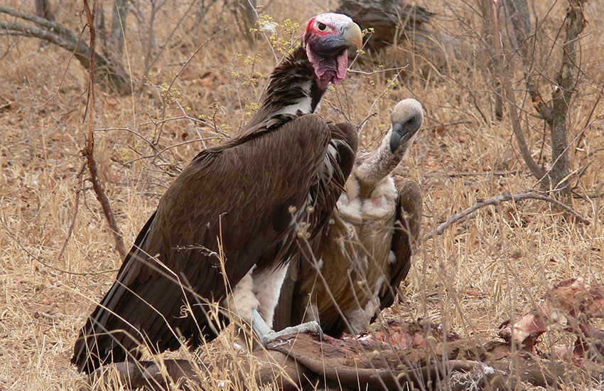 Vultures at a Kill