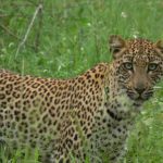Young Leopard in Klaserie