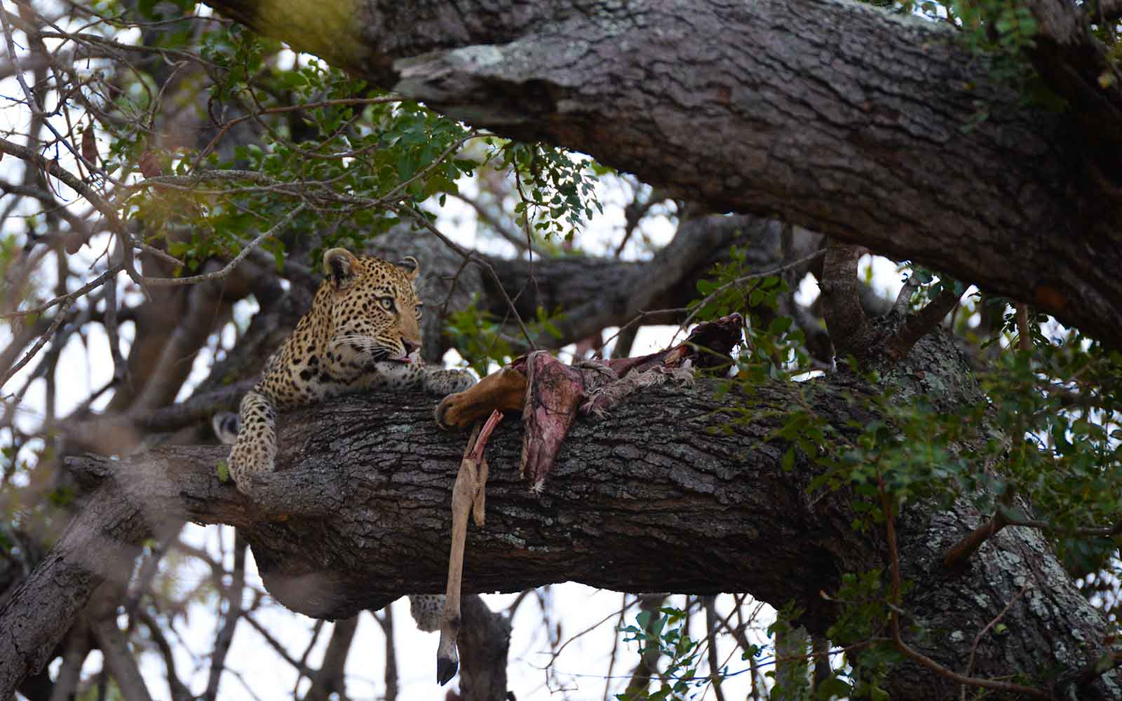 Leopard with Kill - Image : Kevin MacLaughlin