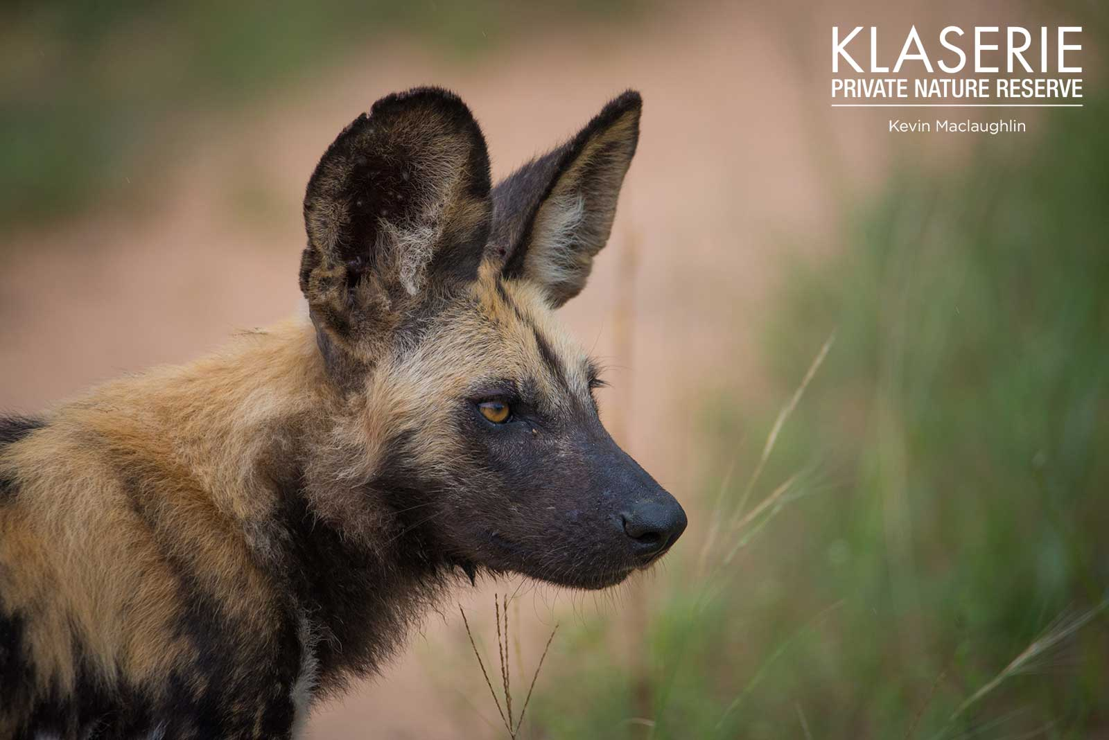 Wild Dogs in Klaserie Private Nature Reserve